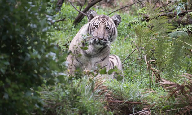A rare pale tiger discovered in the wilds of Tamil Nadu state in India. Photograph- Nilanjan Ray - the most pale ever found in the wild