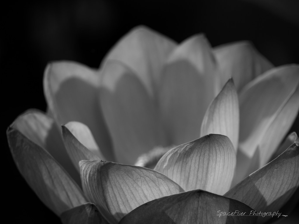 Lotus close-up monochrome