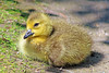 Canada Goose Gosling (Explored July 9, 2017) 17-0514-5286 by digitalmarbles
