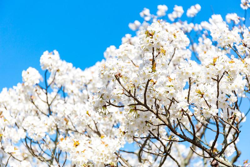 ソメイヨシノ - 平安神宮にて / Heian-jingu Shrine in Spring