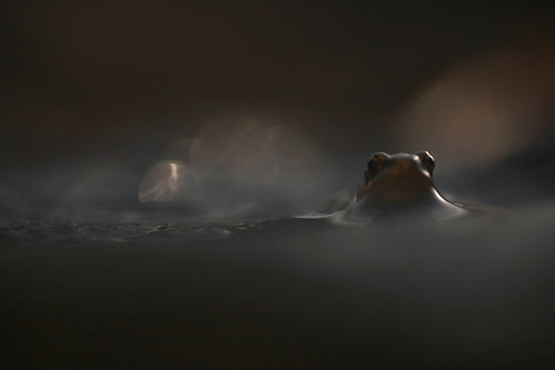 Tiny frog breaking the surface of a pond at dusk , Ian Wade