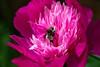 Peony and Bumblebee