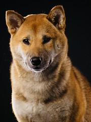 Akira the Shiba-Inu
