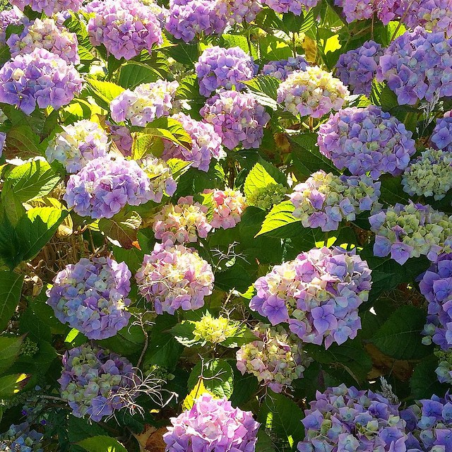 The hydrangea in the front yard is really poppin' 💜