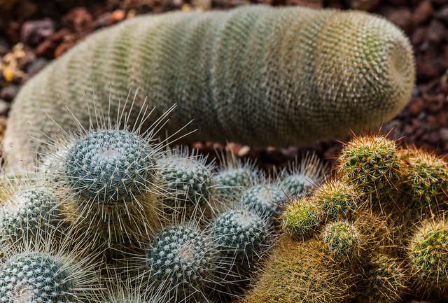 Cacti ( Botanical Gardens) Valencia (Olympus OM-D EM1-II & Panasonic -Leica G 35-100mm f2.8 Telephoto Zoom) (1 of 1)