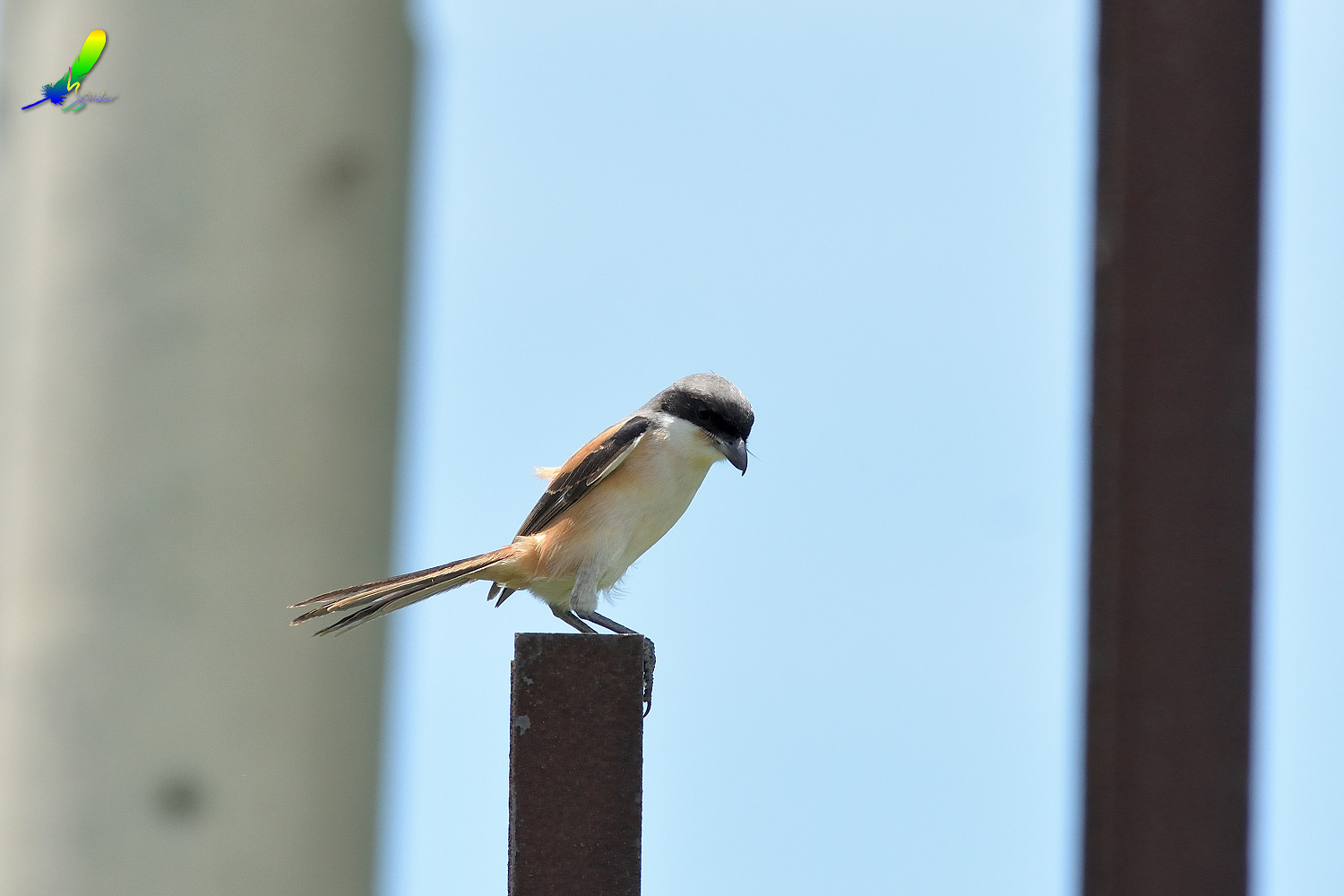 Long-tailed_Shrike_8379
