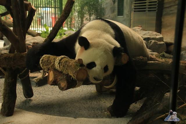 Panda Meng Meng und Jiao Qing im Berliner Zoo 09.07.2017 012