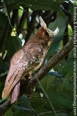 Crested Owl Lophostrix cristata