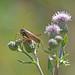 Roesel's bush-cricket