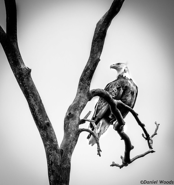 Pine Lake Eagle (Explored), Canon EOS 80D, Sigma 150-600mm f/5-6.3 DG OS HSM   C