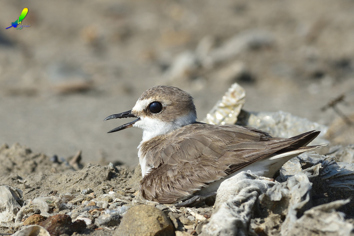 Kentish_Plover_9755