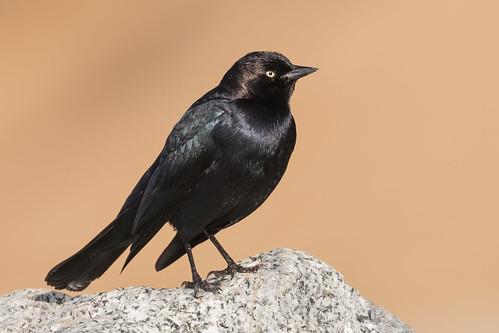euphaguscyanocephalus brewersblackbird blackbird bird waddellbeach waddelstatebeach davenport california santacruzcounty perched perchedbird bokeh sp178