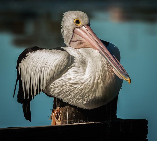 pelican, Nikon D3, AF-S Nikkor 70-200mm f/2.8G ED VR II