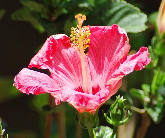 IMGP5281cm Fullerton.CA.us Hibiscus