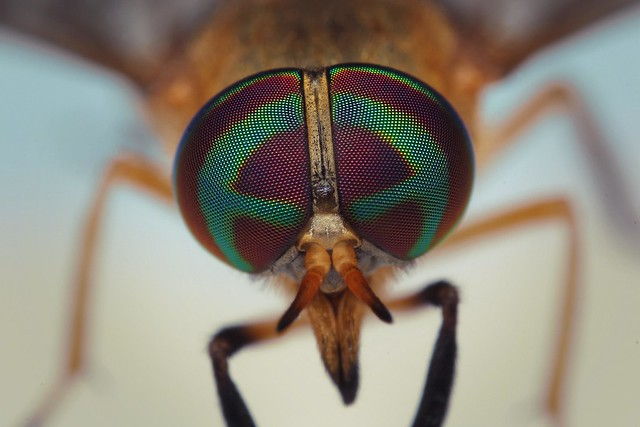 Compound Eyes of a Yellow Fly (Diachlorus ferrugatus)