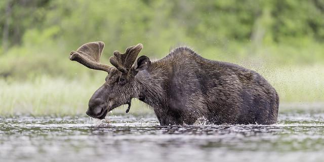 Feeding moose in creek, Nikon D4, AF-S VR Nikkor 600mm f/4G ED