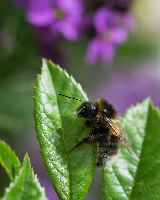 Bumblebee, Nikon D7200, AF Micro-Nikkor 60mm f/2.8D