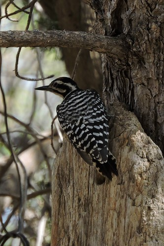 #66 Ladder-backed Woodpecker (Lifer #167)
