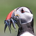 Puffin with sandeels by blootoonloon1( No to Badger Cull)
