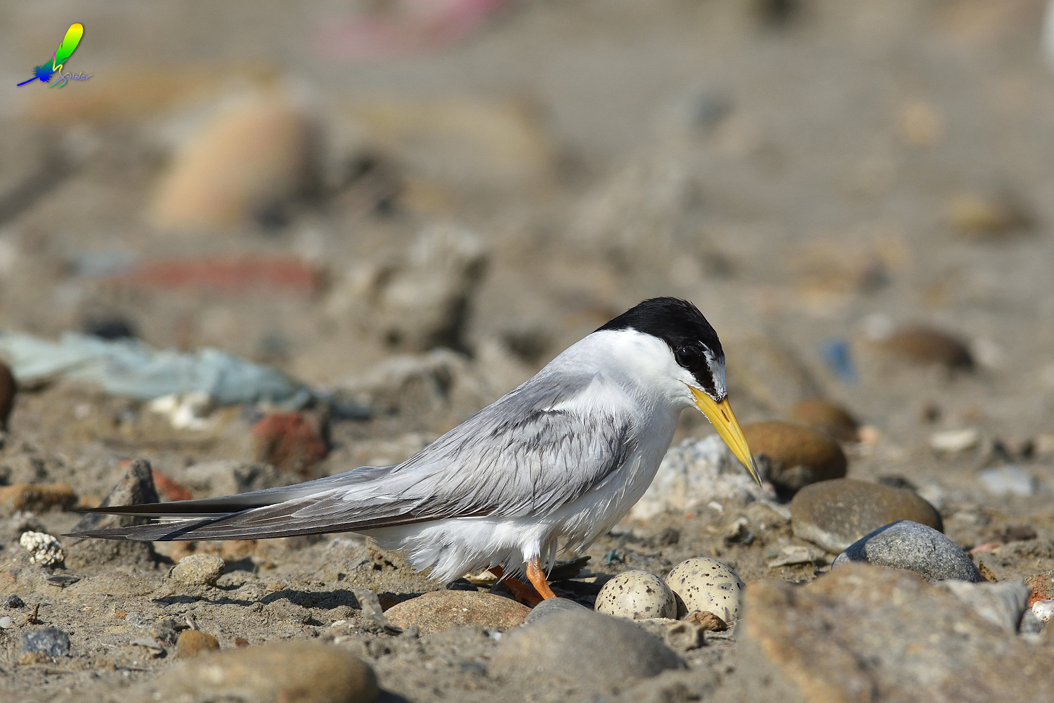 Little_Tern_9893