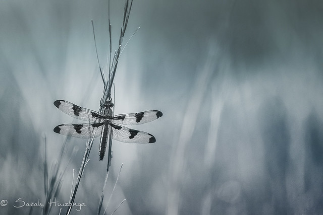 Blue Dragonfly, Canon EOS 70D, Canon EF-S 55-250mm f/4-5.6 IS