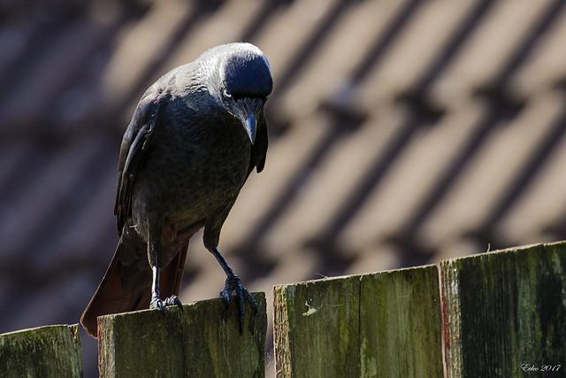 One bad crow2017