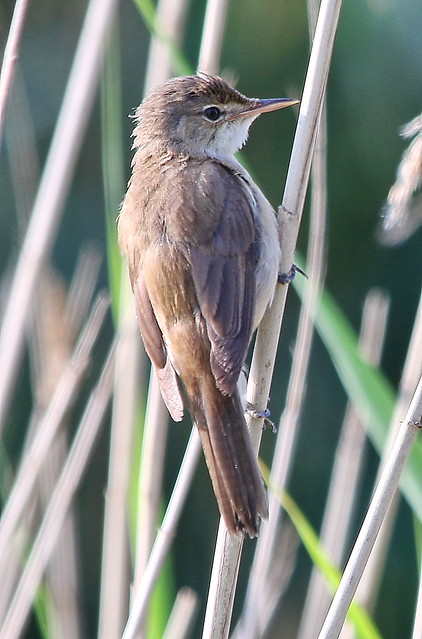Reed Warbler Tophill-Low