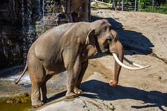 Asian Elephant at the Los Angeles Zoo