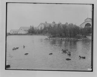 Wild geese and ducks, Brandon, Manitoba / Oies et canards sauvages, Brandon (Manitoba)