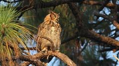 Great Horned Owl- Aripeka Sandhills Preserve