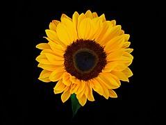 Sunflower shot from above #flickrfriday #shotfromabove