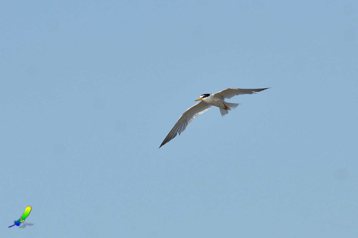 Little_Tern_0150