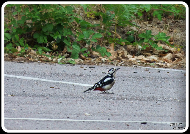 Ground feeding Great spotted woodpecker.