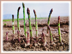 Asparagus officinalis (Asparagus, Garden Asparagus) growing in stages, 13 July 2017