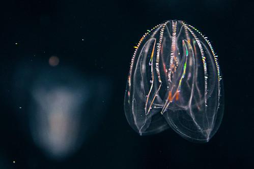 Ctenophora - Comb Jellyfish