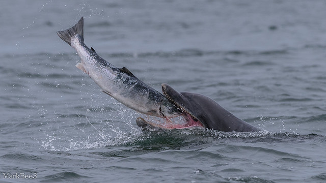 Bottlenose dolphin, Nikon D810, AF-S VR Nikkor 300mm f/2.8G IF-ED