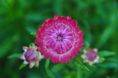 Pink daisy flowers blooming at the garden