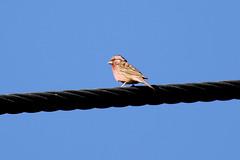 Chinese Beautiful Rosefinch (Carpodacus davidianus)
