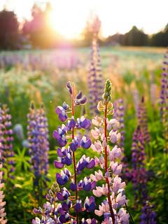 Meadow - Sweden