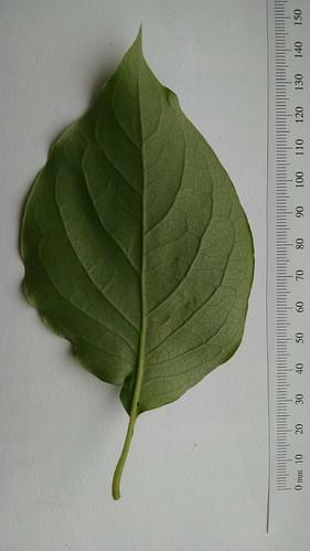 Syringa reticulata leaf