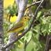 *** Paruline jaune  / yellow warbler
