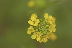 Mustard Flowers...