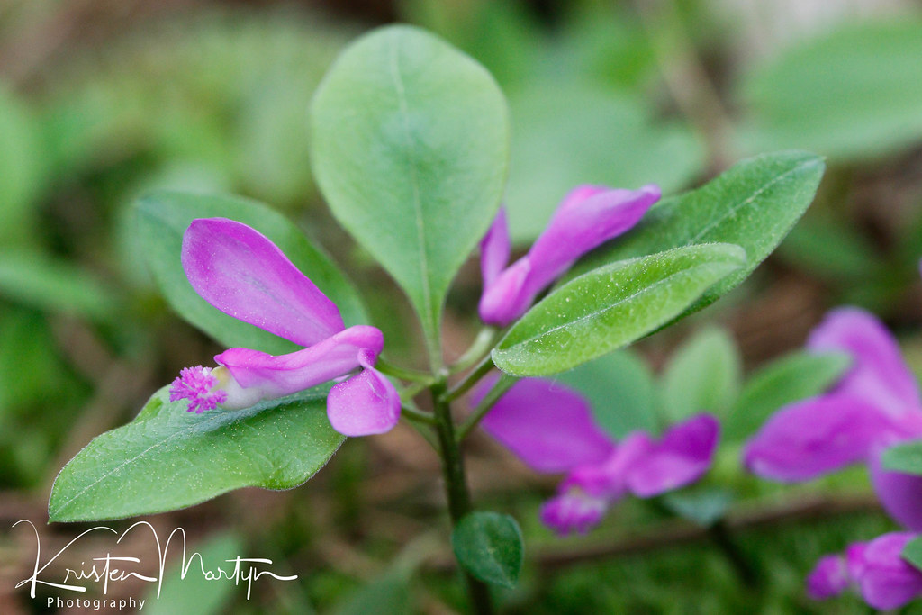 Flowering Wingtergreen (Polygala paucifolia)