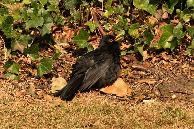 Silly blackbird