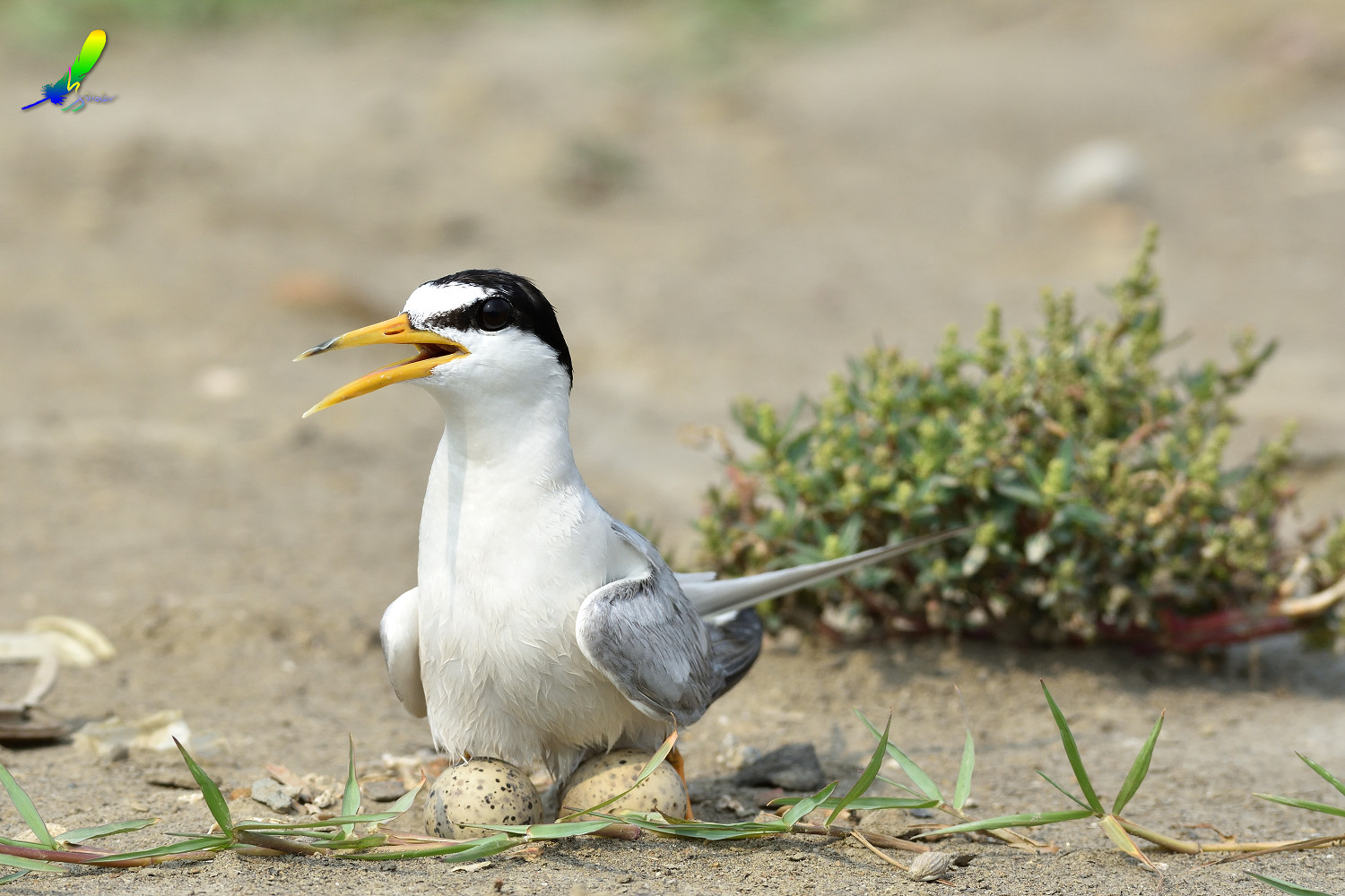 Little_Tern_8878