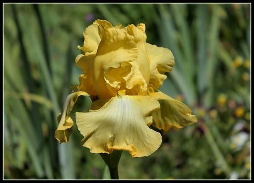 Iris 'Helen Boehm' - Schreiner 1977 35176016385_17dd4eb200
