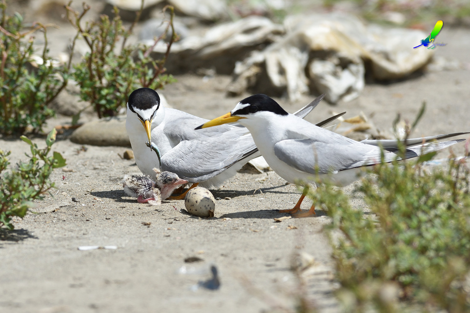Little_Tern_8817