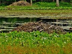 Beaver Lodges At Redington Lake