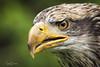 TRC Eagle 8