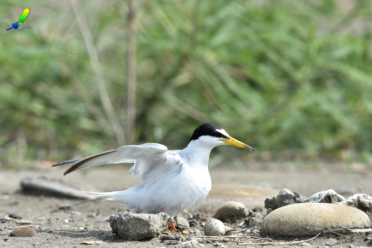Little_Tern_6589